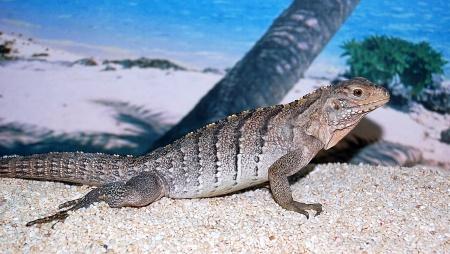 Blue Iguana For Sale : High percentage lewisi hybrids florida iguana tortoise breeders